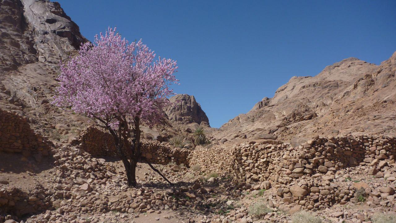 Pink almond, Sinai, Go tell it on the mountain